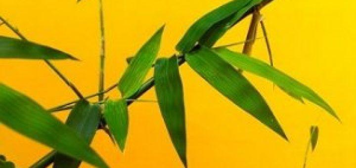 daun bambu obat mencret ternak