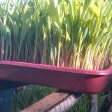 hydroponics corn fodder