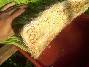 akar jagung hidroponik bersih sehingga bisa dimakan ternak