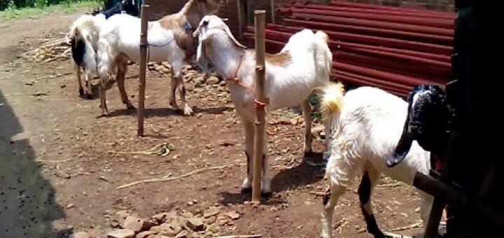 ternak kambing modal 5 juta
