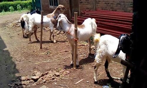 bibit-ternak-kambing