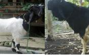 managemen-perkawinan-dan-penyakit-kambing-etawa