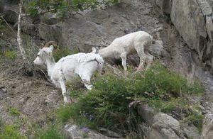 herbal-untuk-kambing-domba-sapi
