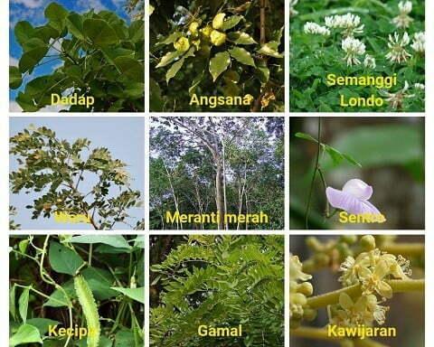 hijauan pakan ternak dari jenis leguminosa