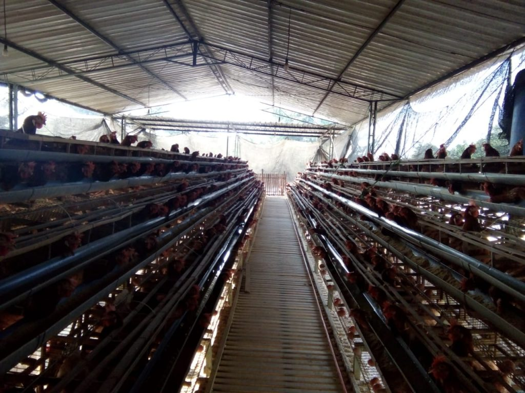 manajemen ternak ayam petelur
