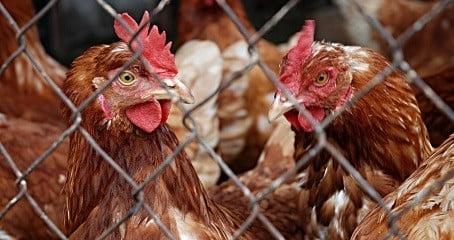 Analisa Ini Sebelum Memulai Usaha Ternak Ayam Petelur