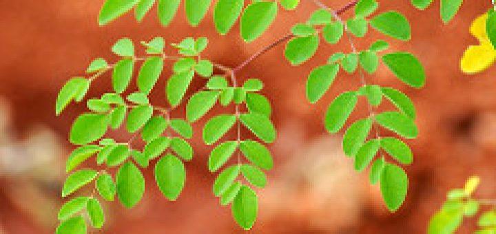 manfaat daun kelor untuk ternak