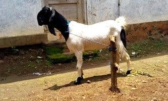 peluang usaha ternak kambing 2 - cara ternak kambing 2 - peternakan kambing 2 - usaha ternak kambing 2