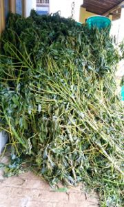 cassava leaves for the goat feed