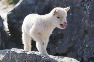 getting-the-goat-female-kid