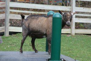 peluang usaha ternak kambing - cara ternak kambing - peternakan kambing - usaha ternak kambing