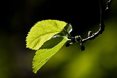 mulberry leaves for crickets feed