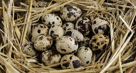 usaha ternak puyuh telur puyuh