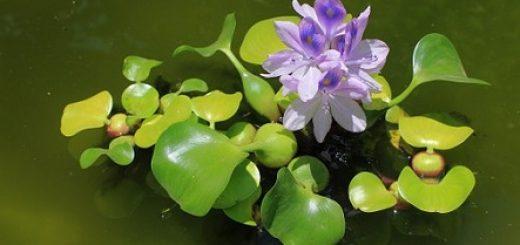 water hyacinth as animal feed
