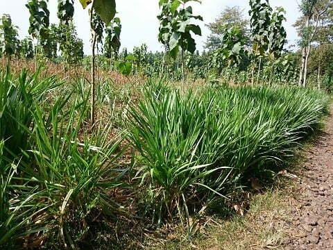 Rumput odot di wilayah kurang air