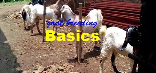 goat breeding-joynim-farm-featured-image