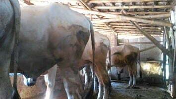 analisa usaha penggemukan sapi
