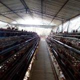 kandang-ayam-petelur