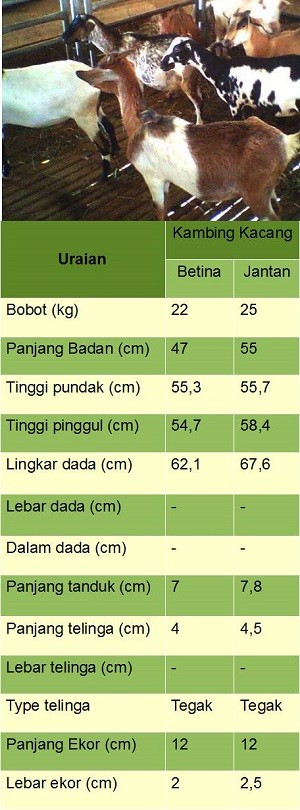 ciri - ciri jenis 2 kambing kacang