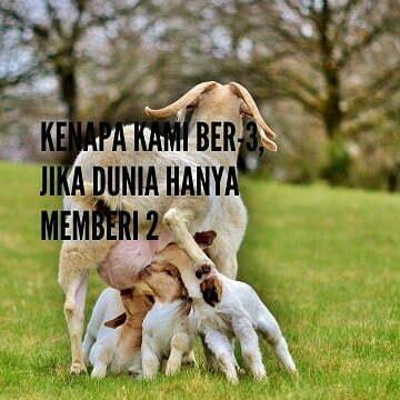 gambar kambing lucu - kambing 2 c