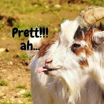 gambar kambing lucu - kambing 2 f