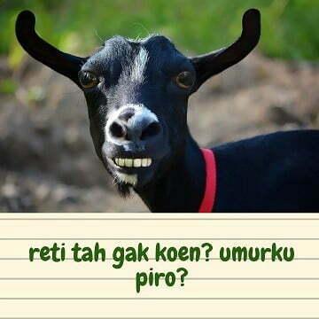 gambar kambing lucu - kambing 2 h