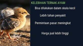 kelebihan ternak ayam kampung