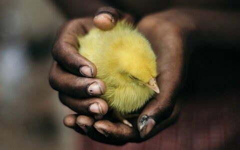 mencari informasi penjual doc ternak ayam kampung
