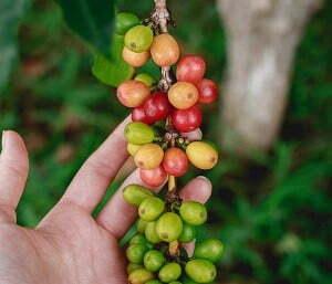 Pakan kambing fermentasi dari kulit kopi