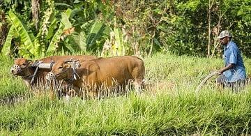 sapi bali adalah pekerja yang baik. ia bisa digunakan dalam kegiatan membajak sawah