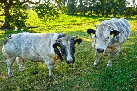 sapi-belgian-blue-ternak-sapi-belgian-blue-2