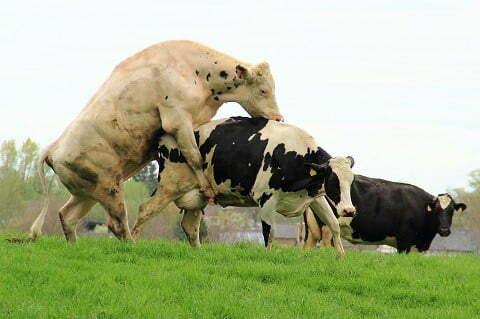 gambar-sapi-gambar-sapi-belgian-blue (3)