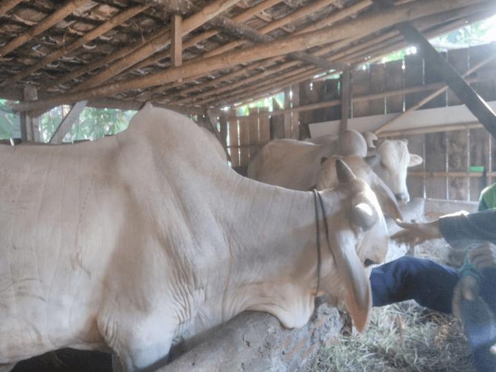 gambar-sapi-peranakan-ongole-sapi-po (1)