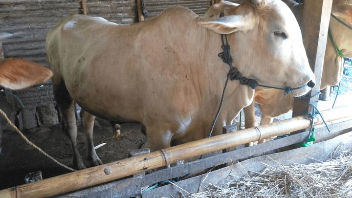 gambar-sapi-peranakan-ongole-sapi-po (2)