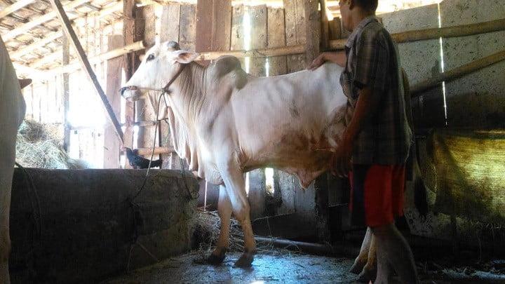 gambar-sapi-peranakan-ongole-sapi-po (3)