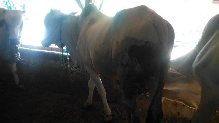 gambar-sapi-peranakan-ongole-sapi-po (6)