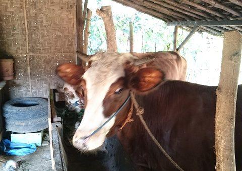 cara mengobati sapi batuk
