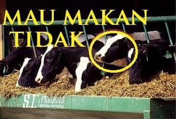 sapi tidak mau makan