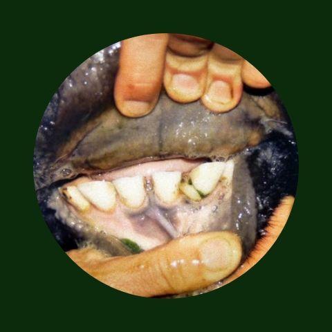 umur sapi dilihat dari gigi
