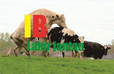 cara agar sapi beranak jantan