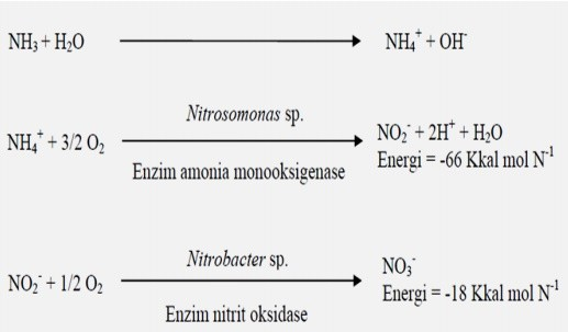 mekanisme kerja bakteri nitrobacter