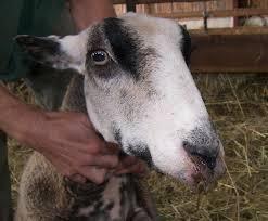 bluetongue disease of goat and sheep
