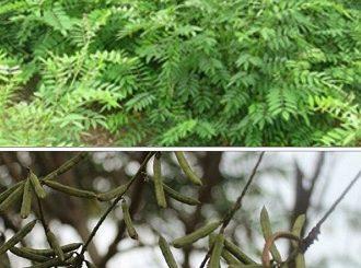 indigofera tinctoria plants for goat