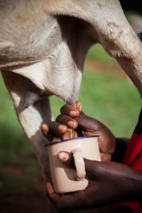 diseases of goat and sheep - mastitis