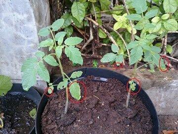 ciri ciri daun tanaman yang keracunan pupuk