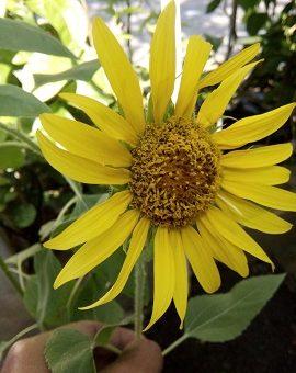 cara menanam bunga matahari dari biji
