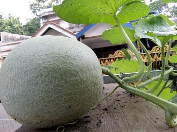buah dari melon yang ditanam di polybag