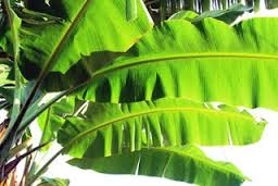 best forage for goats banana leave
