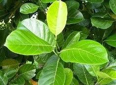 best forage for goats jackfruit