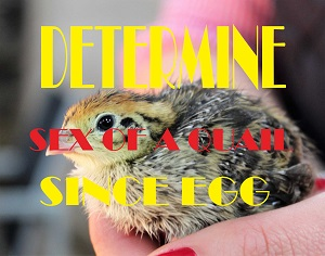 determie sex of a quail since egg